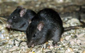 ratones-negros